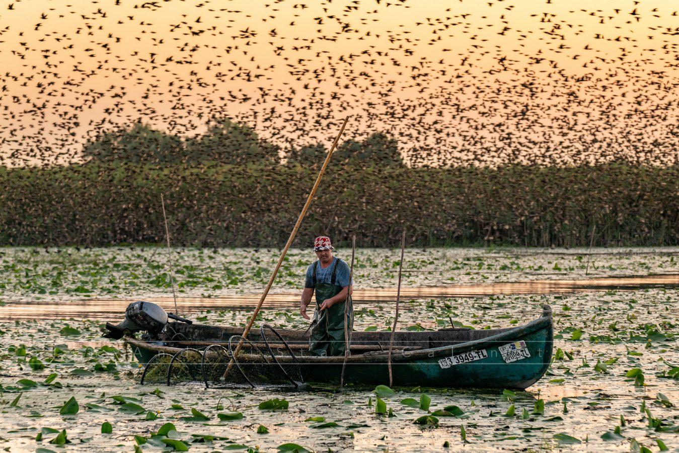 Pescar verificând plasele, la răsărit. Stol de Grauri în fundal. Mila 23, Delta Dunării, August 2019