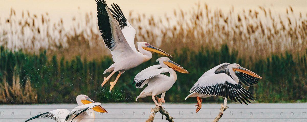 Pelicani în Delta Dunării, Mai 2019