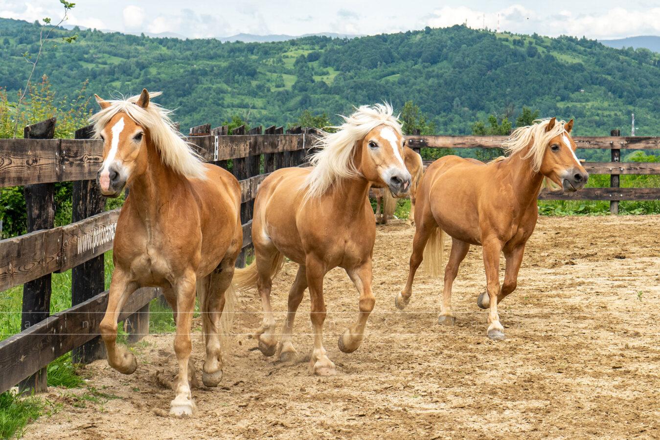 Caii de la Potcoava Runcu