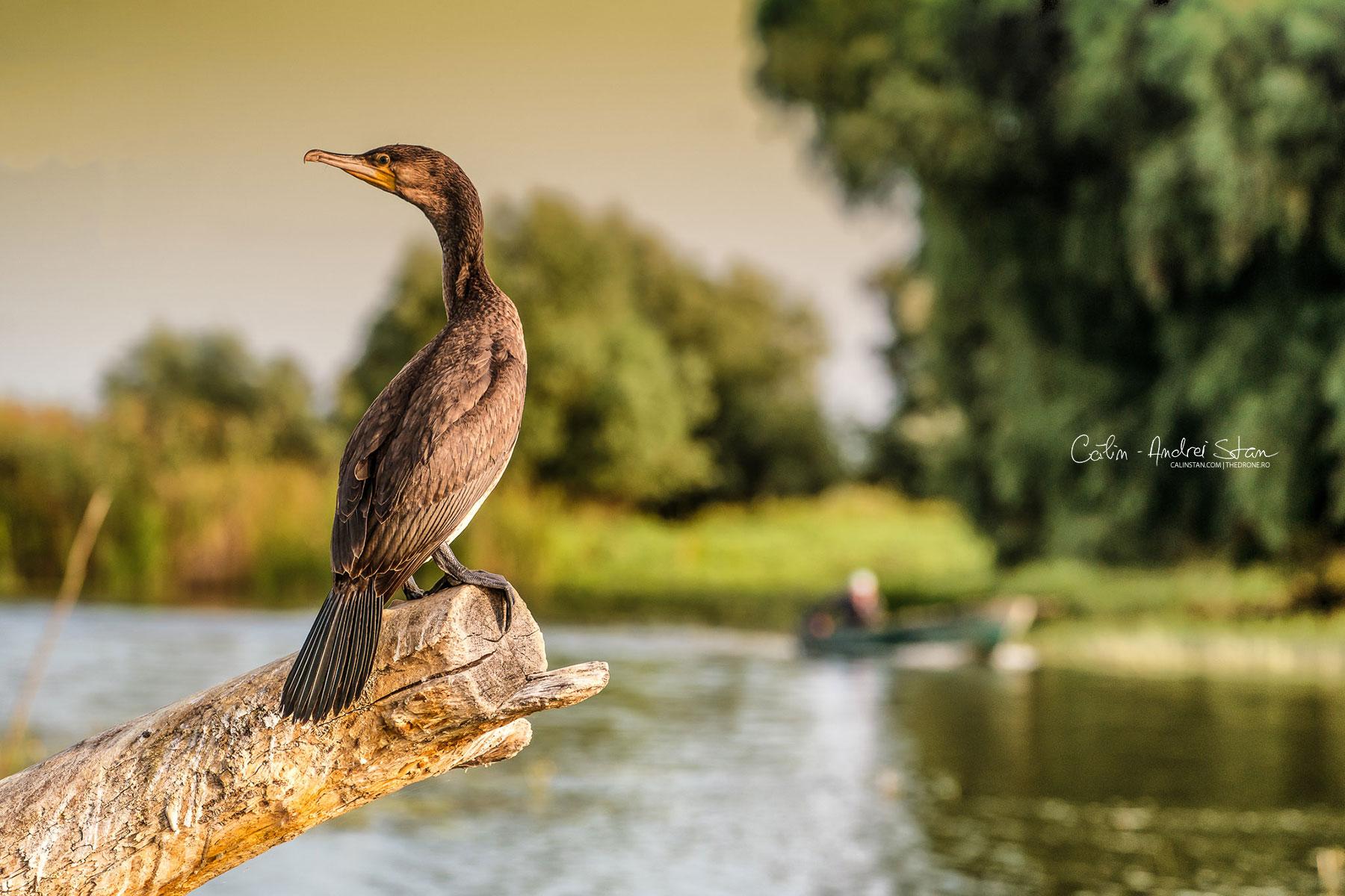 """Fotografia originală: probabil cel mai """"sociabil"""" exemplar de Cormoran din Delta Dunării, un exemplar pe care l-am fotografiat """"de aproape"""" într-una din turele foto Delta Explorer pe care le organizez"""